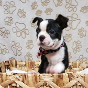 Boston Terrier ( B/W Female)