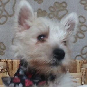 Scottish Terrier (Wheat/ M)